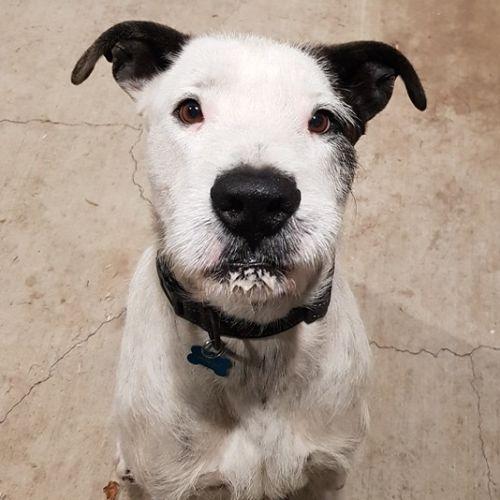 Marley - Wolfhound Dog