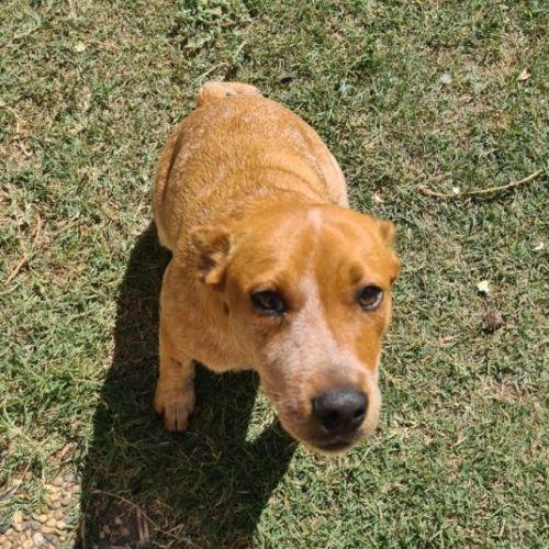 Honey ~ 4mo Kelpie X Cattle Dog