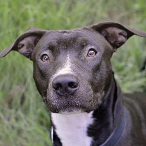 Toby - Staffordshire Bull Terrier Dog