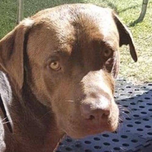 Buddy ~ 4yr Old Labrador - Labrador Dog