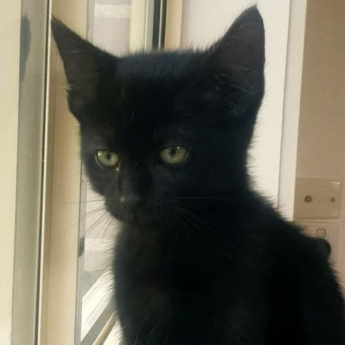 Salem - Located in Thomastown - Domestic Short Hair Cat