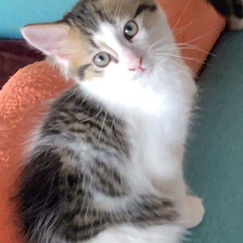 Teriyaki  - Domestic Medium Hair Cat