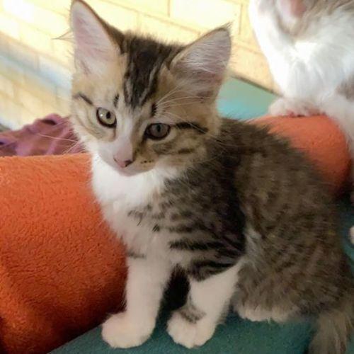 Dumpling  - Domestic Medium Hair Cat