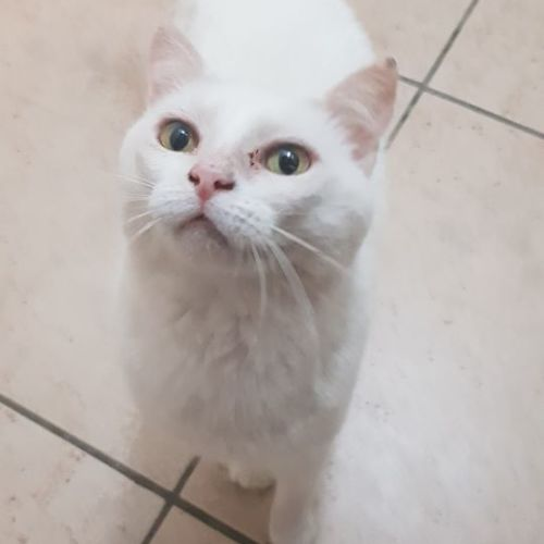 Snow White - Domestic Short Hair Cat