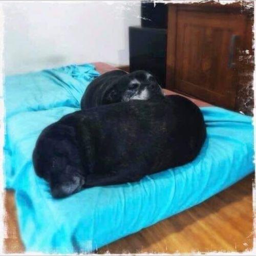 Scarlett and Jess - Staffy Dog
