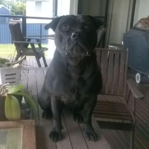 Gem - Staffy Dog