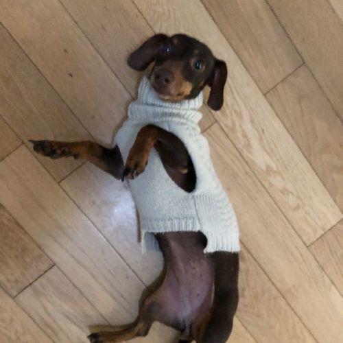 Sarsy  - Dachshund Dog