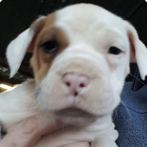Basil - Dogue De Bordeaux Dog