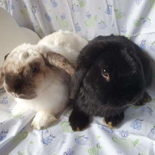 Bonny & Onyx - Lop Eared Rabbit