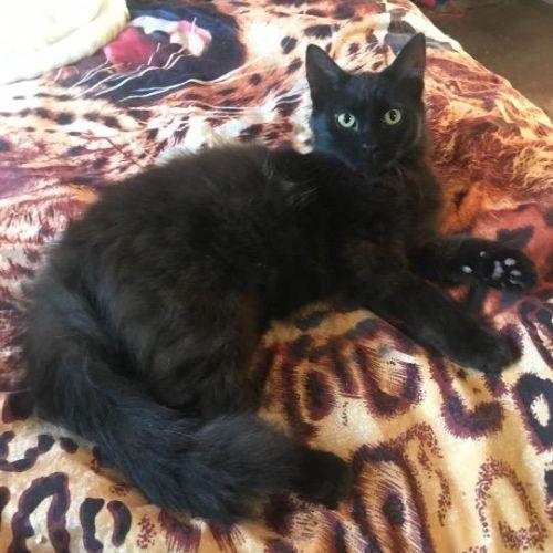 Little Boy - Domestic Medium Hair Cat