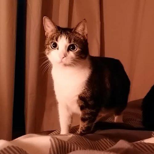 Paris - Located in Flemington - Domestic Short Hair Cat