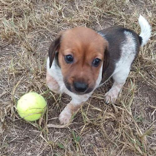 Hazelnut - Jack Russell Terrier Dog