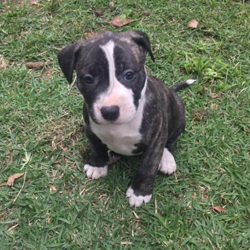 Ziggy - Staffordshire Bull Terrier x Bull Terrier Dog
