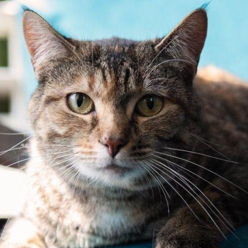Vaughan - Domestic Short Hair Cat