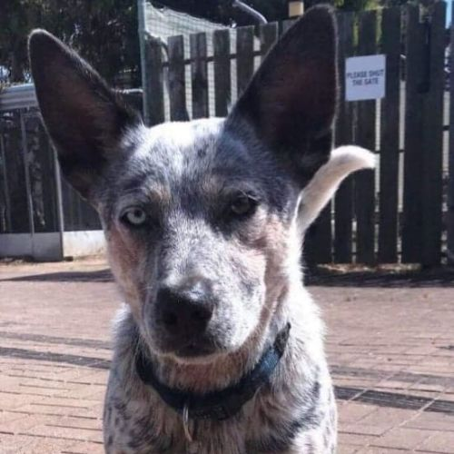 **On Trial** Ralph - Cattle Dog