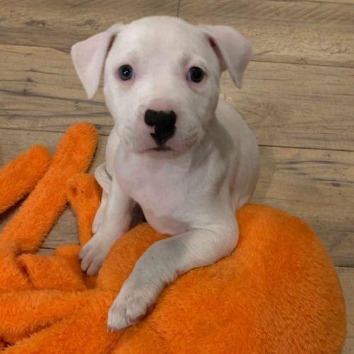 Irene - Staffordshire Bull Terrier x Bull Terrier Dog