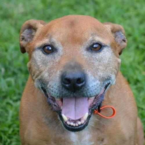 Cruz - Staffordshire Bull Terrier Dog