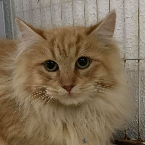 Marshall - Domestic Medium Hair Cat