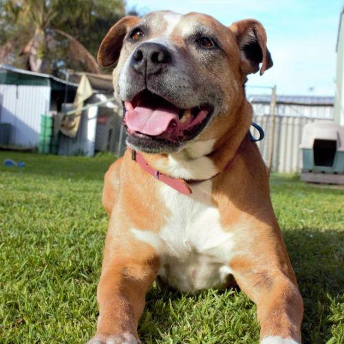 Chloe - Bullmastiff x Rhodesian Ridgeback Dog