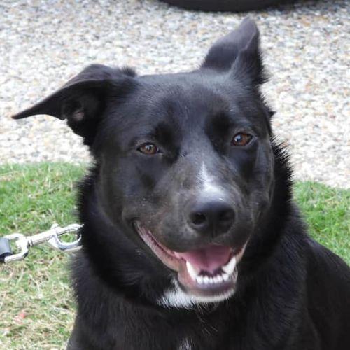 Lewis - Kelpie Dog