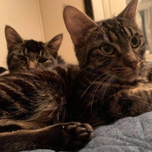 Basil and Reginald - Domestic Short Hair Cat