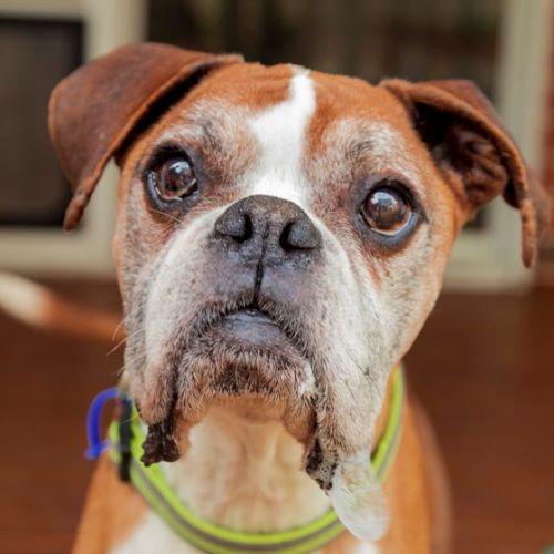 Tyson ~ 11yr Old Boxer