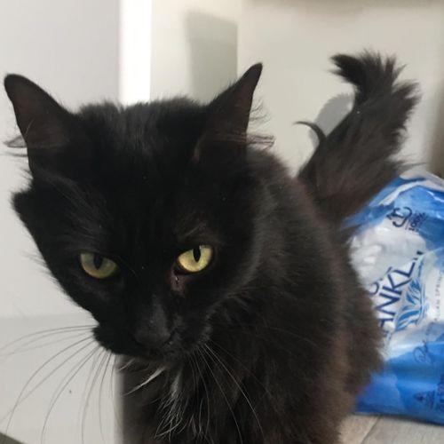 Midnight - Meet me at Neko HQ in Preston - Domestic Medium Hair Cat