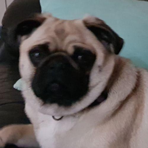Ned - Pug Dog
