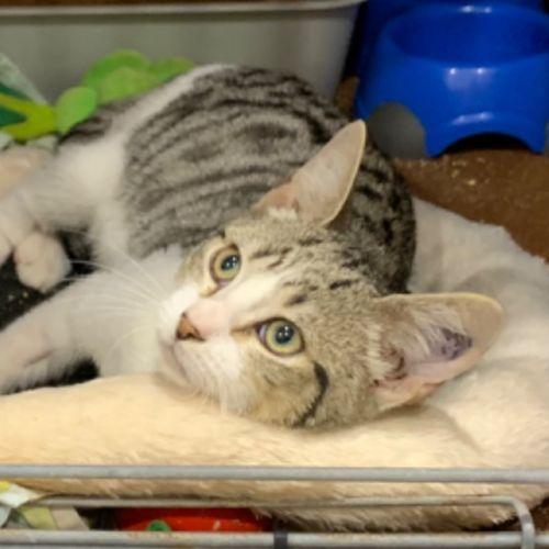Rodriquez - Domestic Short Hair Cat