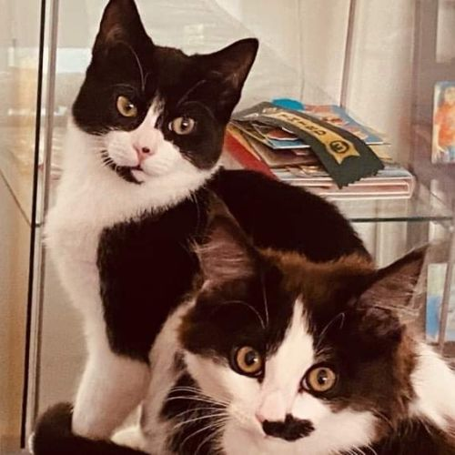 Trixie & Buzz - Domestic Short Hair Cat