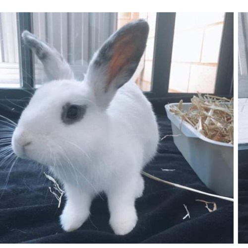 Snowy - Dwarf Rabbit