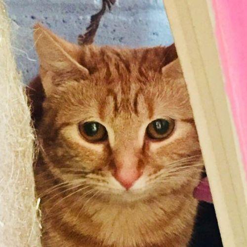 Sweet Ginger girl Bambi - Domestic Short Hair Cat