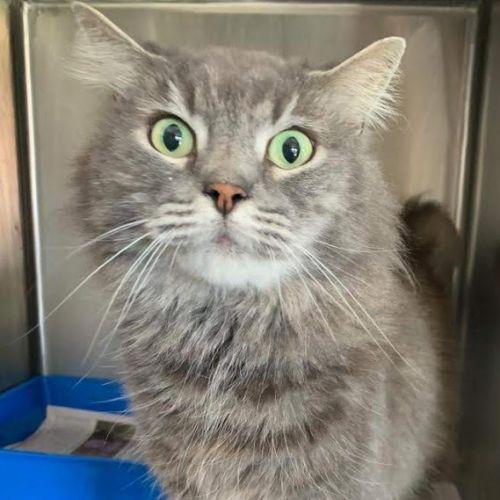 Urban - Domestic Medium Hair Cat