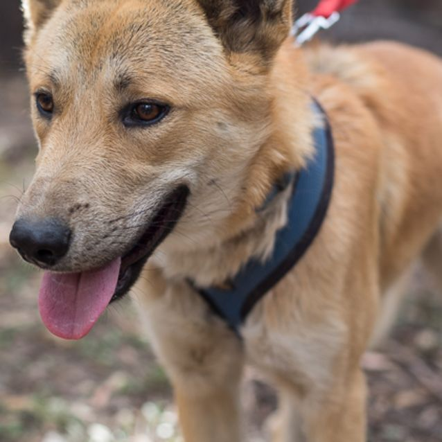 Pluto Dingo X - Medium Male Dingo x Kelpie x Mixed Dog in