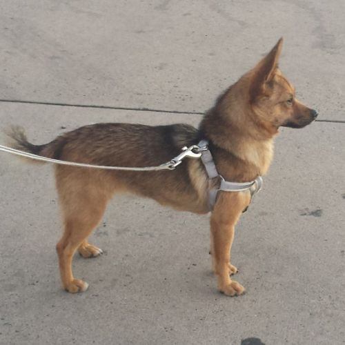 Pepper  - Pomeranian x Jack Russell Terrier Dog