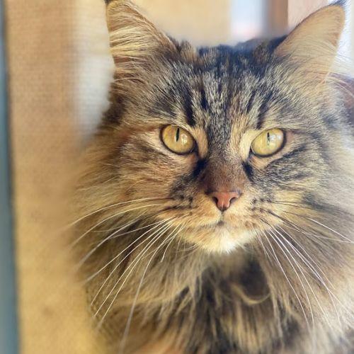 Ahment - Domestic Long Hair Cat