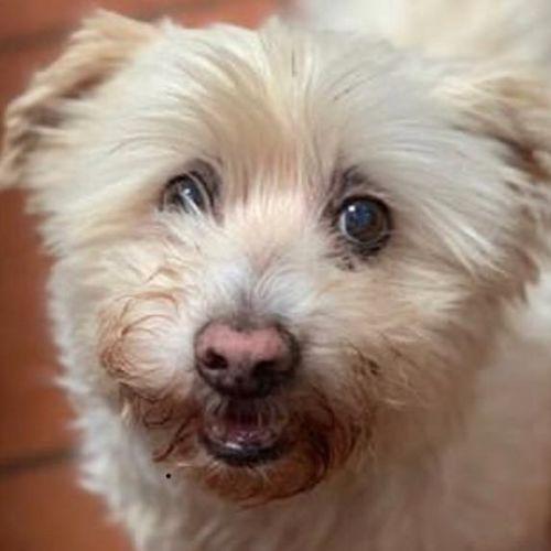 Emmet - Maltese Dog