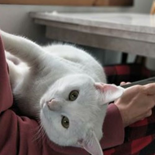 Greg - Located in Preston - Domestic Short Hair Cat