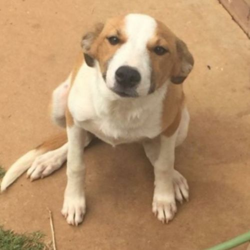 Rosie  - Border Collie Dog