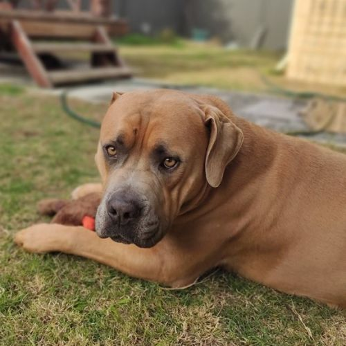 Hector DL2444 - Mastiff Dog