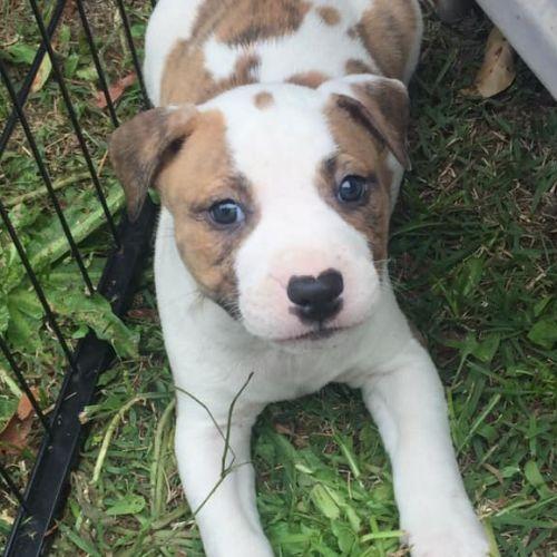 Colby - Staffordshire Bull Terrier x Bull Terrier Dog