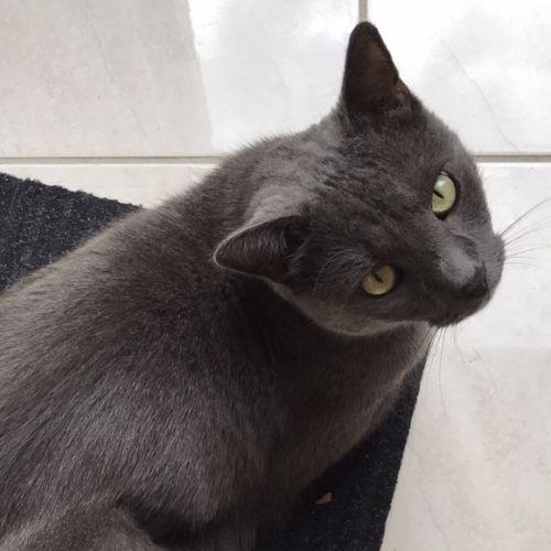 Bloss - Domestic Short Hair Cat