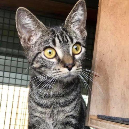 Kitty Hawk - Domestic Short Hair Cat