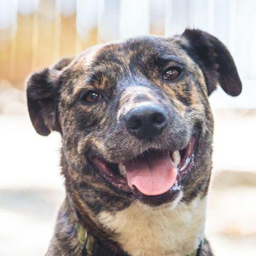 Booker - Wolfhound Dog