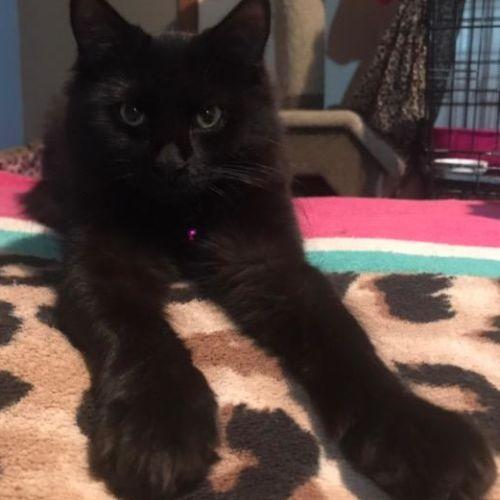 Opal Nera - Domestic Long Hair Cat