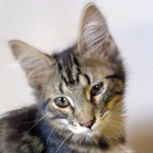 Paddy - Domestic Medium Hair Cat