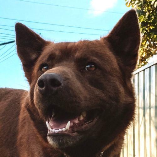 Bruno ~ 3yr Old Husky x Kelpie