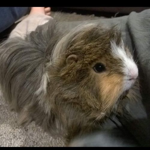 Zeus and Teddy -  Guinea Pig