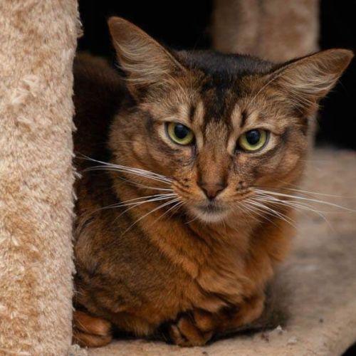 Mydonna - Somali Cat