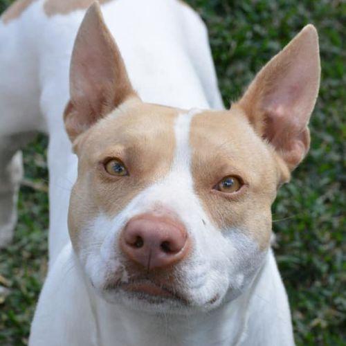 Kismet - Staffordshire Bull Terrier Dog